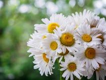 Ein Blumenstrauß von weißen Feldgänseblümchen auf einem Grün verwischte Hintergrund Blumen mit den weißen Blumenblättern und gelb Stockfotografie