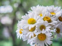 Ein Blumenstrauß von weißen Feldgänseblümchen auf einem Grün verwischte Hintergrund Blumen mit den weißen Blumenblättern und gelb Lizenzfreies Stockfoto