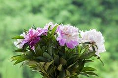 Ein Blumenstrauß von weißen und rosa Pfingstrosen Lizenzfreie Stockbilder