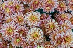 Ein Blumenstrauß der schönen Chrysantheme blüht draußen Chrysanthemen im Garten stockbilder