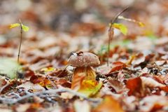 Ein Boletuspilz im Wald Lizenzfreie Stockbilder