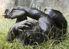 Ein Bonobo Rolls herum im Gras Stockfoto