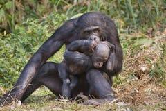 Ein Bonobo (Wanne panicus) mit einem Schätzchen. Stockfotos