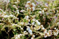 Ein Brasilianer cerrado ` s Blumen Lizenzfreie Stockfotografie