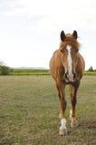 Ein Brauenpferd auf einer Wiese Stockfoto