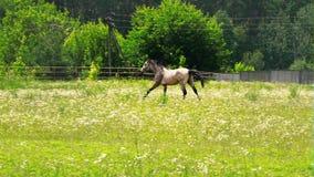 Ein braun-aschiges Pferd, das über das grüne Gras in der Bauernhofkoppel galoppiert stock video footage