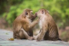 Ein brauner Affe, der auf Flöhen und Zecken in der Frau überprüft Stockfotografie