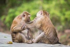 Ein brauner Affe, der auf Flöhen und Zecken in der Frau überprüft Lizenzfreie Stockbilder
