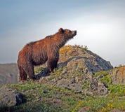 Ein brauner Bär Lizenzfreie Stockfotos