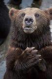 Ein brauner Bär stockbilder