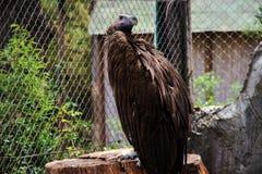Ein brauner enormer Adler, der auf der Niederlassung sitzt und weg den Abstand untersucht Lizenzfreie Stockbilder