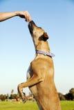Hund, der für eine Festlichkeit am Park erreicht Stockbilder