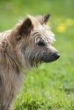 Ein brauner Terrierhund, der rechts steht und schaut Lizenzfreie Stockfotografie