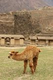 Ein braunes Alpaka an den Ruinen lizenzfreies stockfoto
