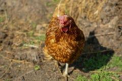 Ein braunes Huhn aus den Grund, umfasst mit Heu stockbilder