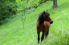 Ein braunes Pferd Stockfotos