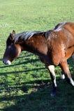 Ein braunes Pferd Lizenzfreies Stockbild