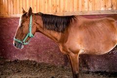 Ein braunes Pferd Lizenzfreie Stockfotos