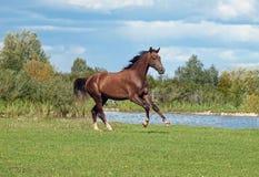 Ein braunes Pferd, das auf die grüne Wiese galoppiert Stockfotografie
