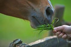 Ein braunes Pferd, das Gras isst Stockbild