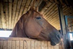 Ein braunes Rennpferd, das in einer Koppel steht lizenzfreies stockfoto