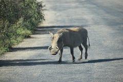 Ein braunes Warzenschwein auf einer Straße in Addo Elephant Park in Colchester, Südafrika Stockfotos