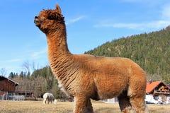 Ein braunes weibliches Alpaka lizenzfreie stockbilder