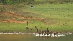 Ein breiter panoramischer Schuss der gehenden Abflussrinne der Sambarrotwild ein Fluss stock video