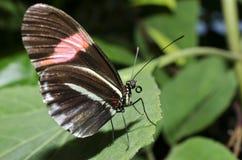 Ein Briefträger Schmetterling Lizenzfreies Stockbild