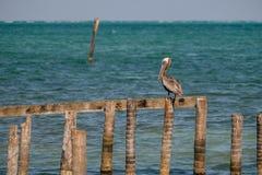 Ein Brown-Pelikan auf einem Verrottungspier Stockfotos