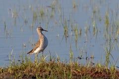 Ein Bruchwasserläufer, Tringa Glareola, watender Vogel Lizenzfreies Stockbild