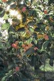 Ein Brunch des Apfelbaums mit Äpfeln Lizenzfreie Stockbilder