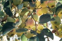 Ein Brunch des Apfelbaums mit Äpfeln Lizenzfreies Stockfoto