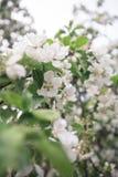 Ein Brunch des blühenden Apfelbaums Stockfotos