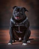 Ein Bulldoggenwelpe Stockfotos
