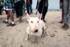 Ein Bullterrier auf dem Strand Lizenzfreies Stockbild