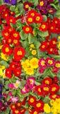 Ein bunter Behälter von Primel-Blumen Stockfoto