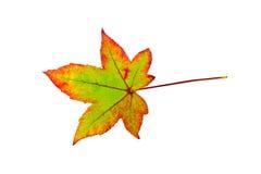 Ein buntes Ahornblatt im Herbst auf Weiß Lizenzfreie Stockfotografie