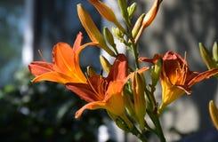 Ein buntes Bündel der orangefarbenen Trompete mögen Blumen stockbilder