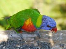 Ein buntes Regenbogen lorikeet Lizenzfreie Stockfotos