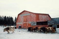 ein buntes rotes Scheunengebäude mit dem Kuhvieh, das von einem Heuschober während des Winters mit einem großen Stier einzieht stockbilder