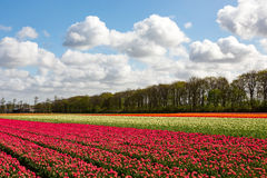 Ein buntes tulipfield Stockfotos