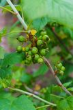 Ein Busch einer Schwarzen Johannisbeere mit nicht schon gereiften grünen Beeren Im Garten lizenzfreie stockfotografie