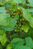 Ein Busch einer Schwarzen Johannisbeere mit nicht schon gereiften grünen Beeren Im Garten stockbilder