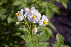 Ein Busch von Kartoffeln mit hellen weißen Blumen Bl?hende Kartoffeln stockfoto