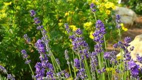 Ein Busch von lila Blumen unter der hellen Sommersonne nave stock video