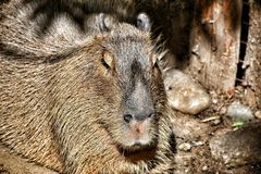 Ein Capybara lizenzfreie stockfotos