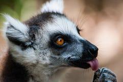 Ein catta Maki zeigt die Zunge, indem er eine Frucht leckt Stockfoto