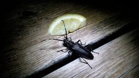 Ein Cerambycidae Longhornkäfer beschmutzt nachts stockfotografie