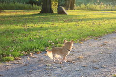 Ein Chihuahua-Hund in einem Park Lizenzfreies Stockbild